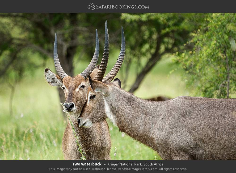 Two waterbuck in Kruger National Park, South Africa