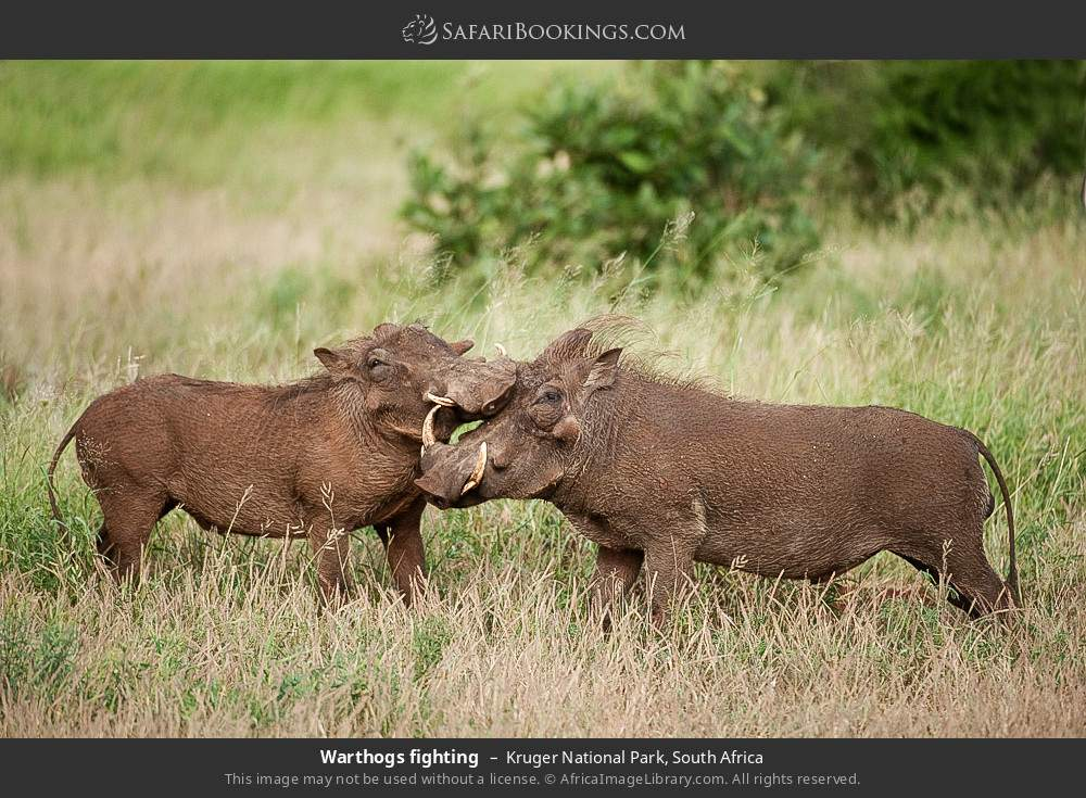 Warthogs fighting in Kruger National Park, South Africa