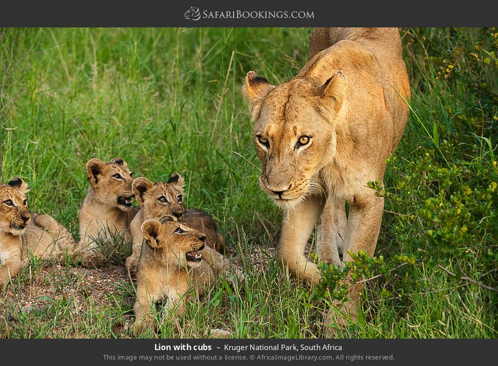 Lion with cubs in Kruger National Park, South Africa