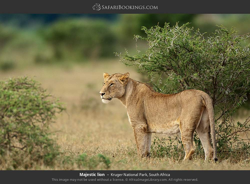 Majestic lion in Kruger National Park, South Africa