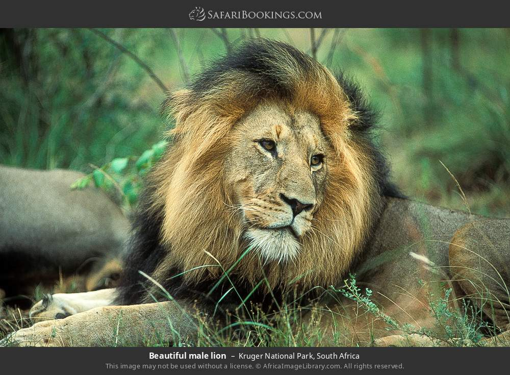 Beautiful male lion in Kruger National Park, South Africa