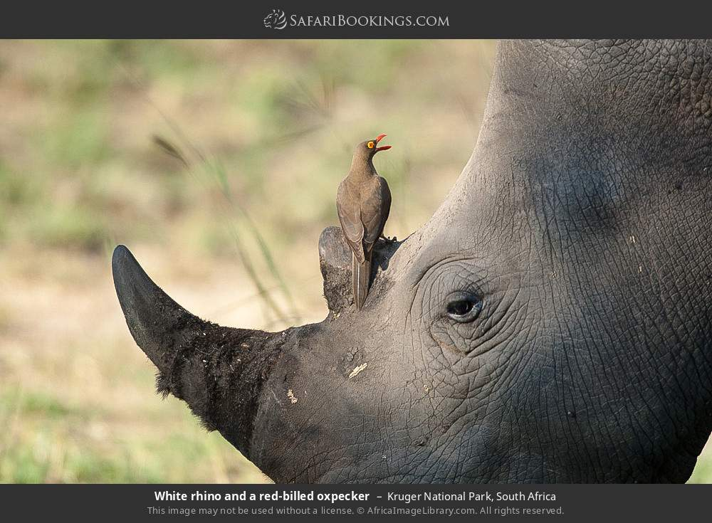 White rhino and a red-billed oxpecker in Kruger National Park, South Africa