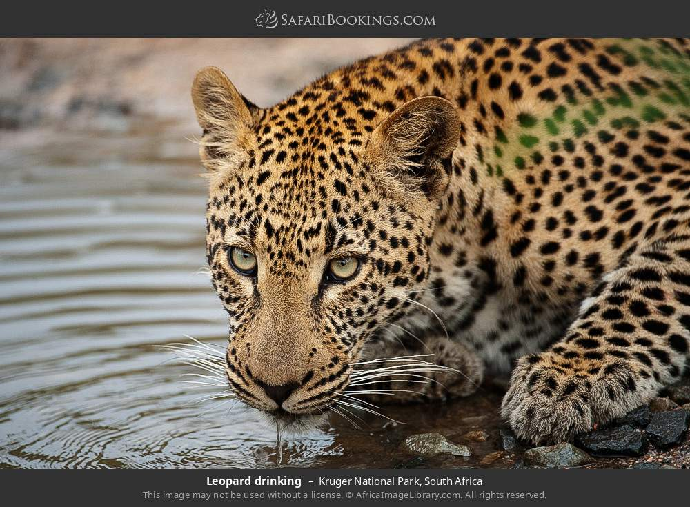 Leopard drinking, in Kruger National Park, South Africa