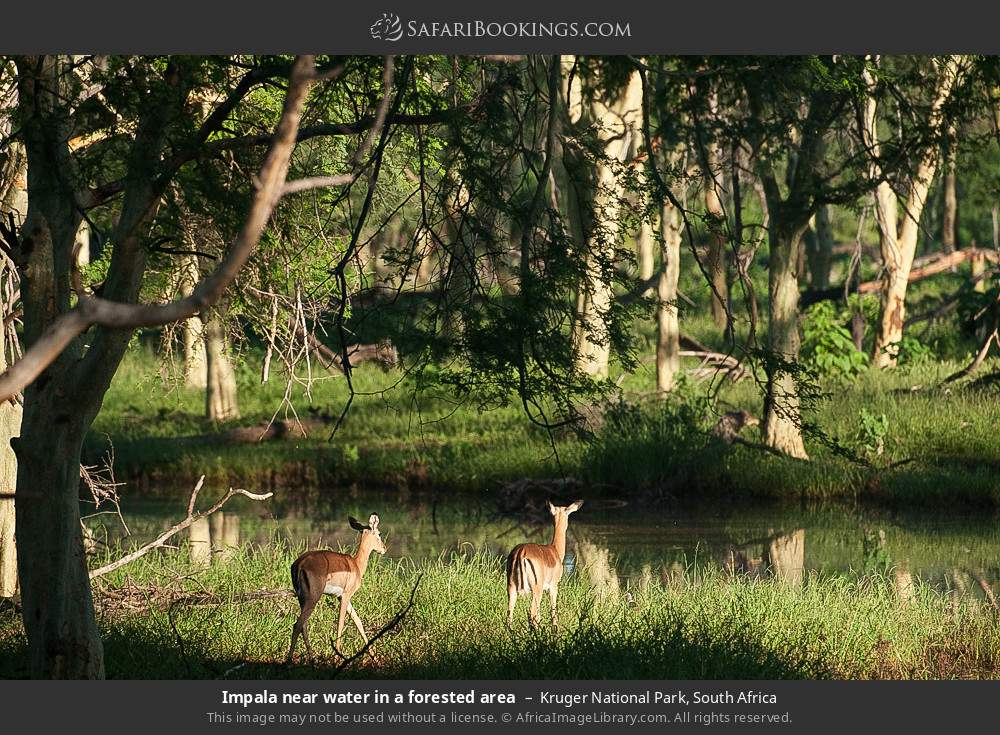 Impala near water in a forested area in Kruger National Park, South Africa