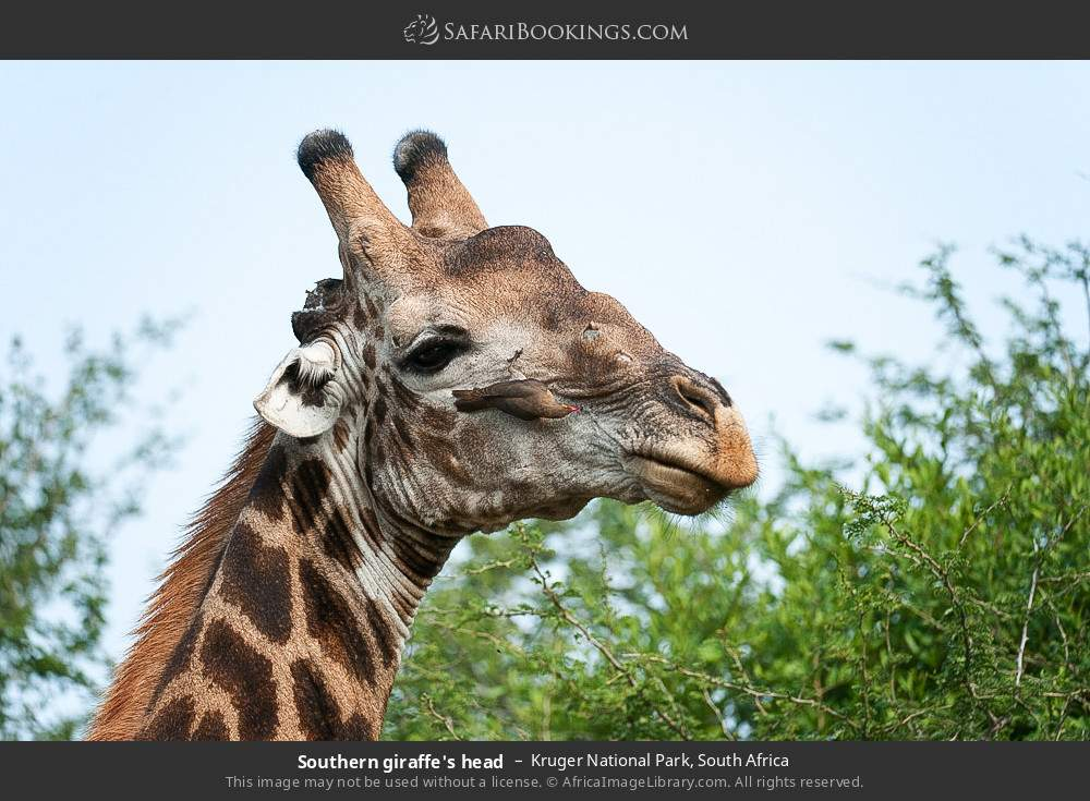 Southern giraffe's head in Kruger National Park, South Africa