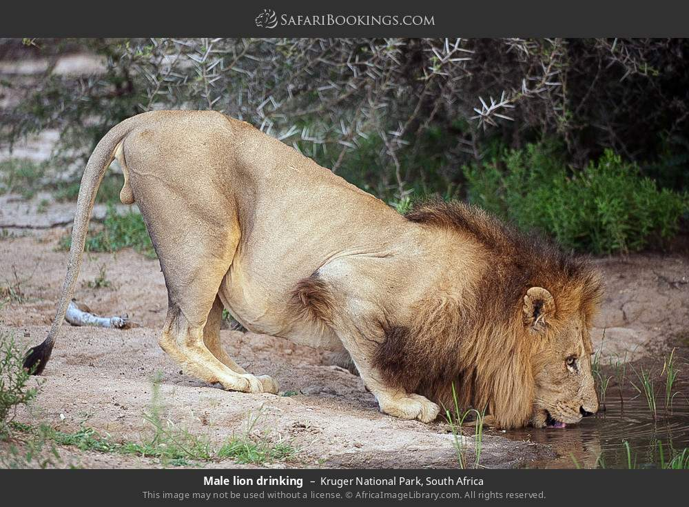 Male lion drinking in Kruger National Park, South Africa