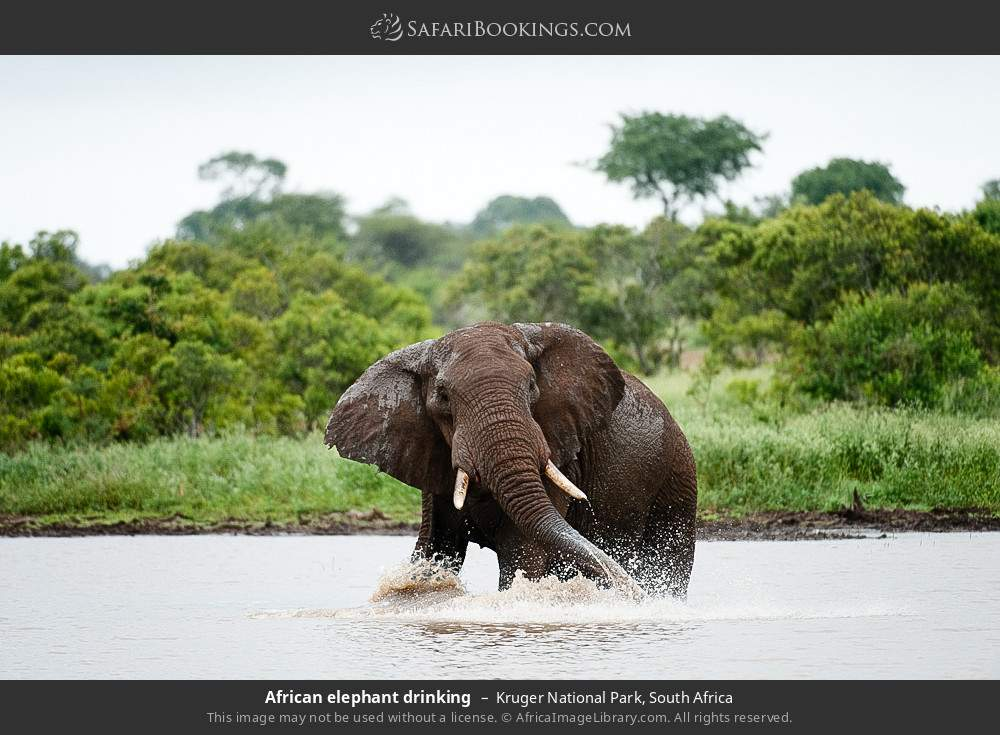 African elephant drinking in Kruger National Park, South Africa