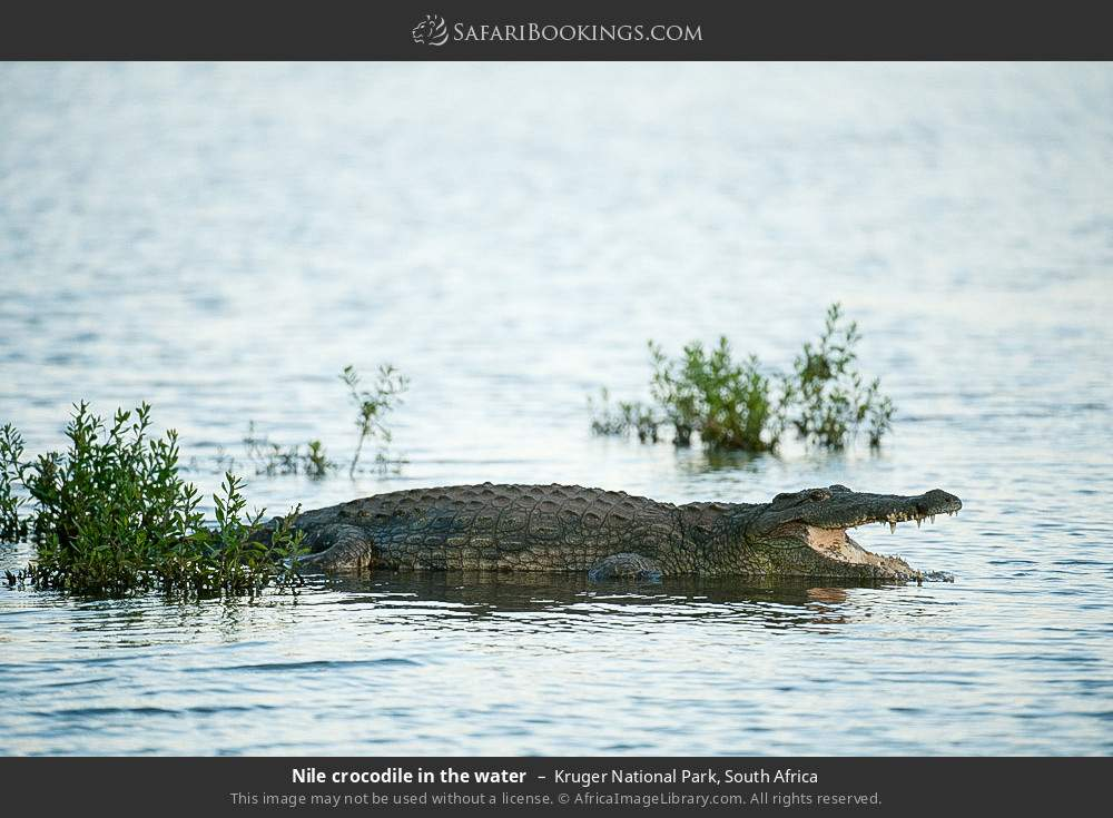 Nile crocodile in the water in Kruger National Park, South Africa