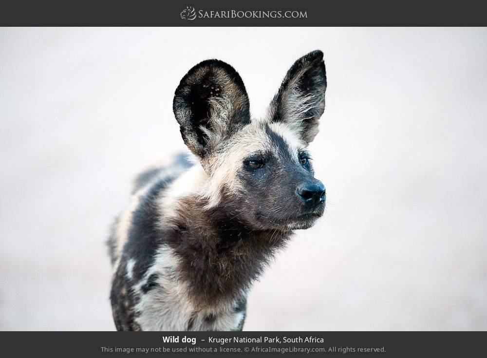 Wild dog in Kruger National Park, South Africa