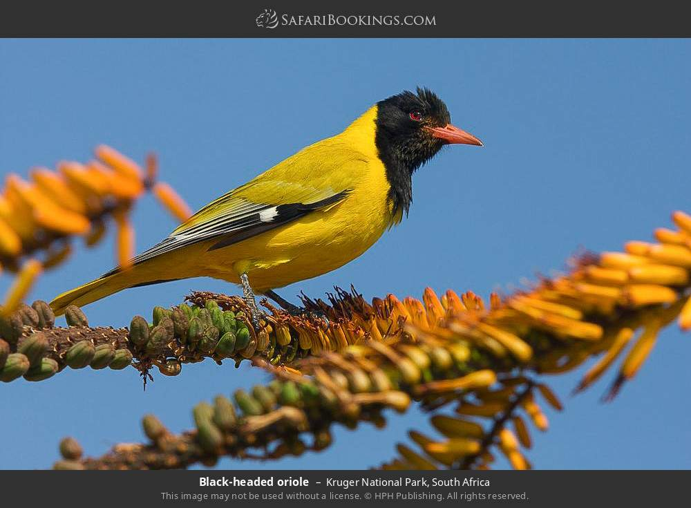 Black-headed oriole in Kruger National Park, South Africa