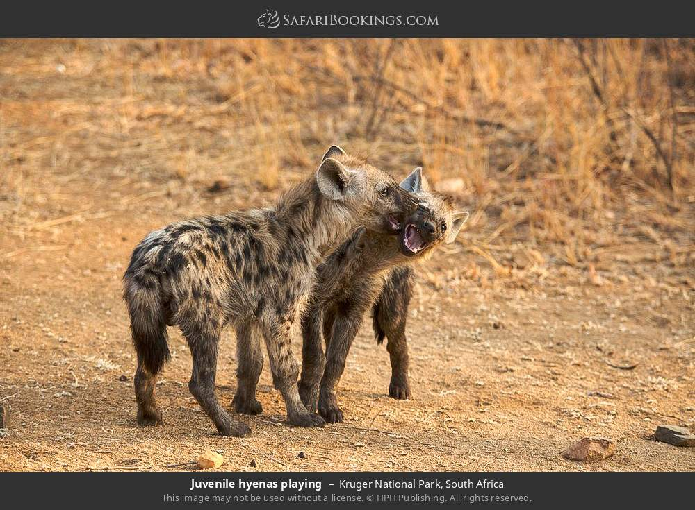 Juvenile hyenas playing in Kruger National Park, South Africa
