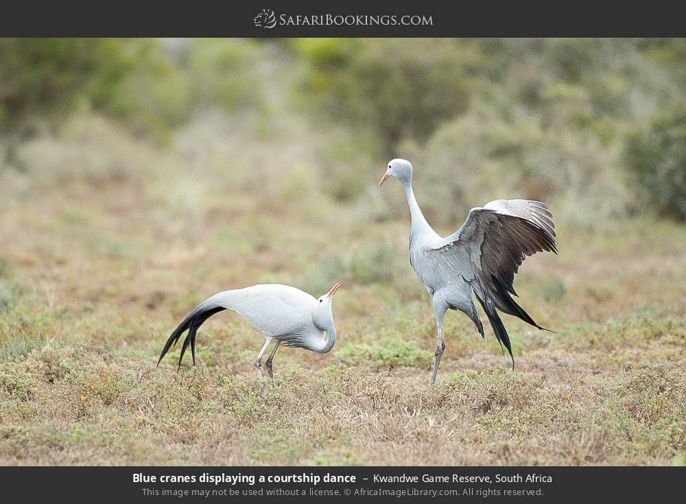 Blue cranes displaying a courtship dance in Kwandwe Game Reserve, South Africa