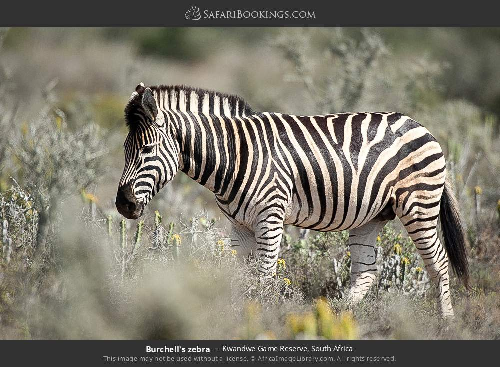 Burchell's zebra in Kwandwe Game Reserve, South Africa