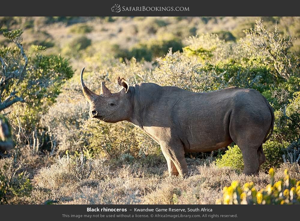 Black rhinoceros in Kwandwe Game Reserve, South Africa