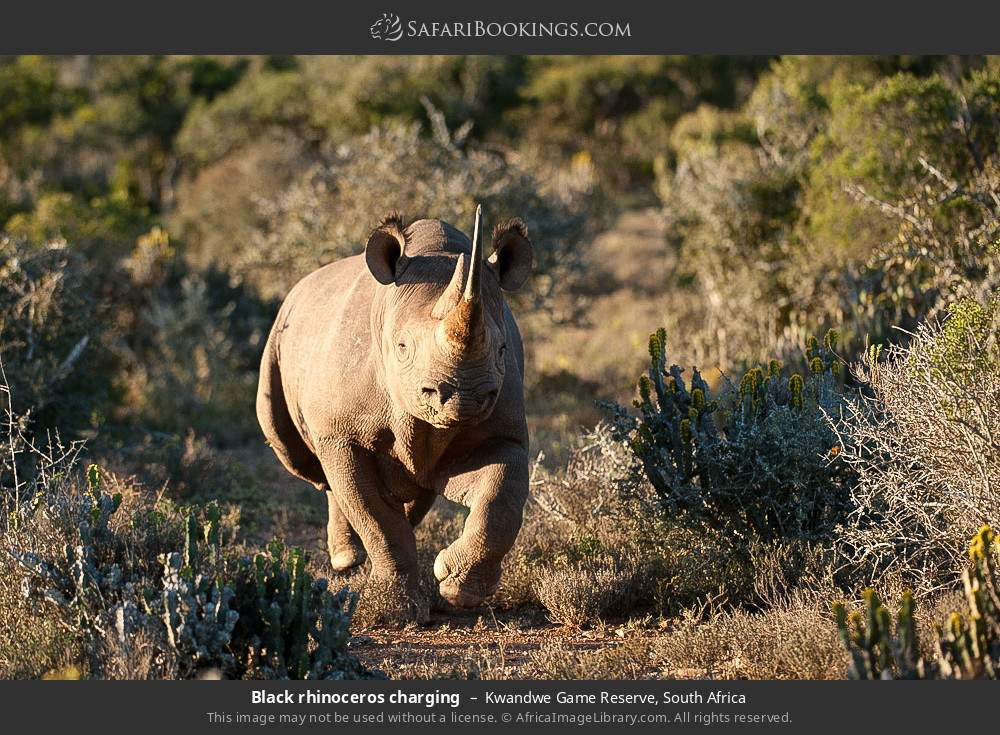 Black rhinoceros charging in Kwandwe Game Reserve, South Africa