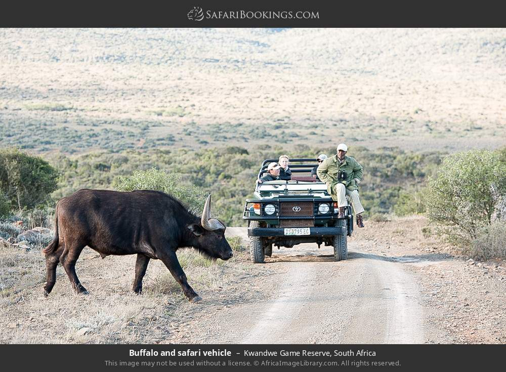 Buffalo and safari vehicle in Kwandwe Game Reserve, South Africa
