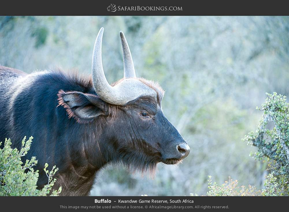 Buffalo in Kwandwe Game Reserve, South Africa