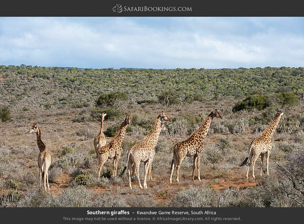 Southern giraffes in Kwandwe Game Reserve, South Africa