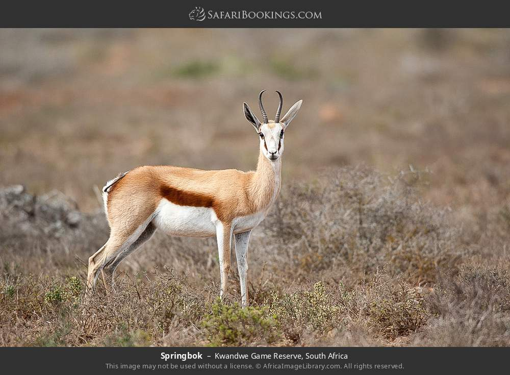 Springbok in Kwandwe Game Reserve, South Africa