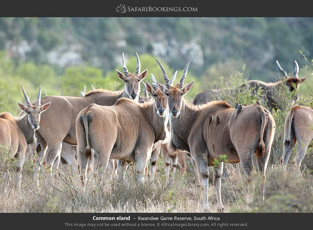 Common eland in Kwandwe Game Reserve, South Africa