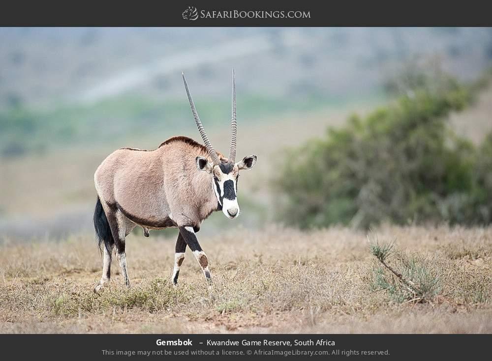Gemsbok  in Kwandwe Game Reserve, South Africa