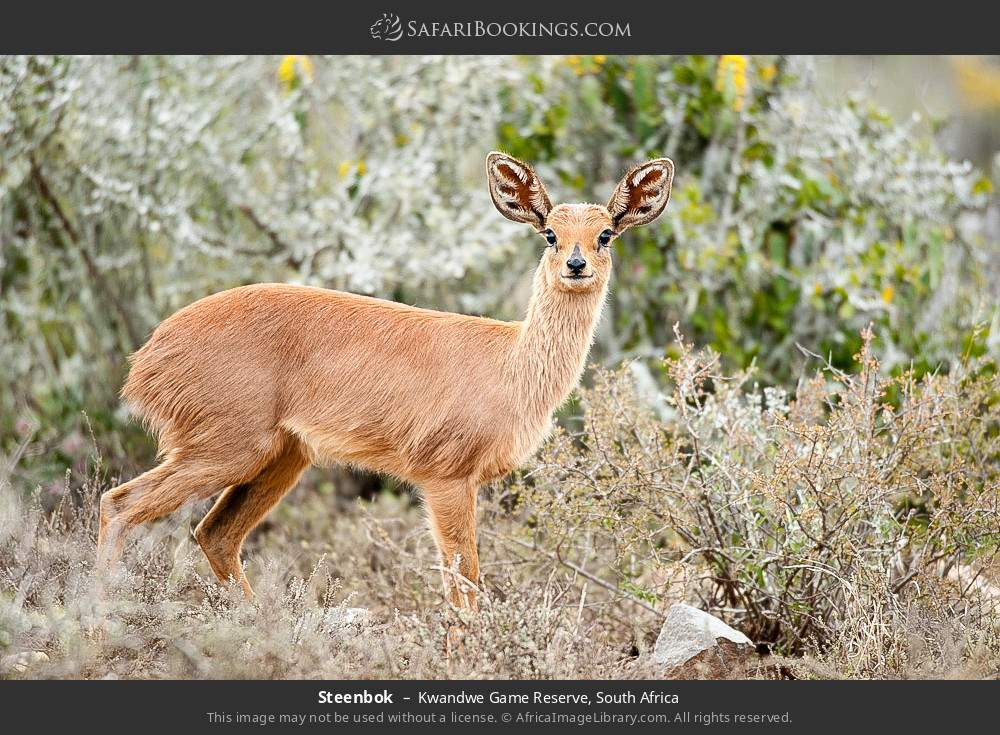 Steenbok in Kwandwe Game Reserve, South Africa