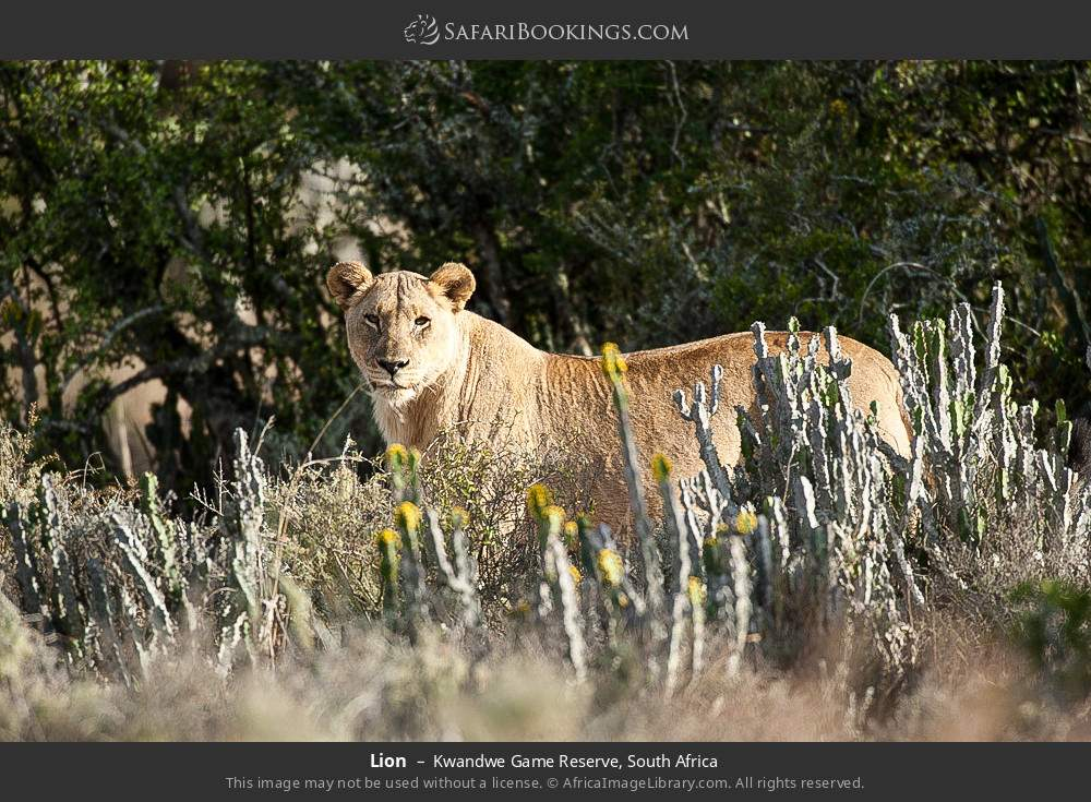 Lion in Kwandwe Game Reserve, South Africa
