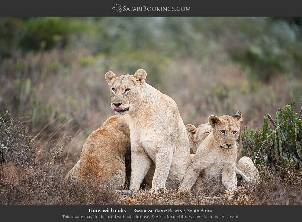 Lions with cubs in Kwandwe Game Reserve, South Africa