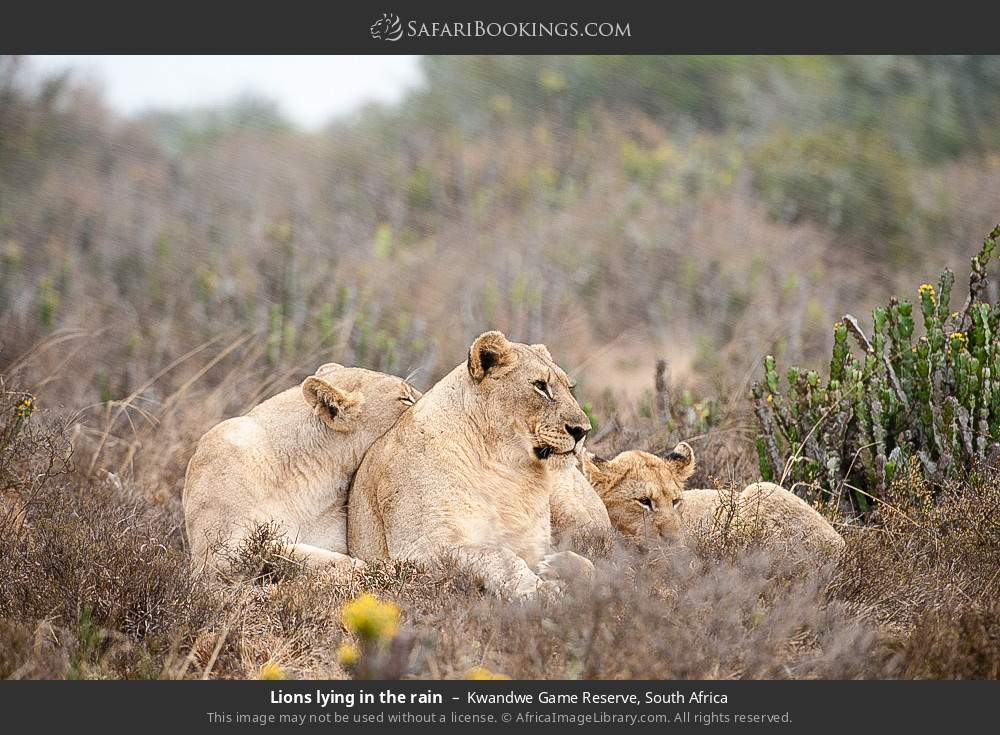 Lions lying in the rain in Kwandwe Game Reserve, South Africa