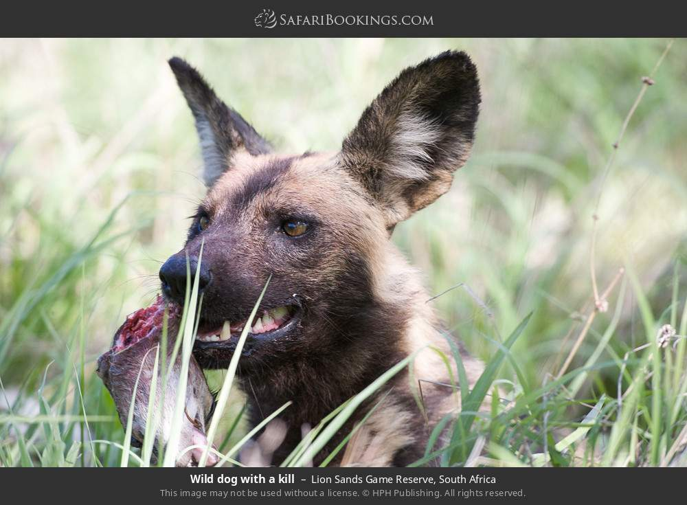 Wild dog with a kill in Lion Sands Game Reserve, South Africa