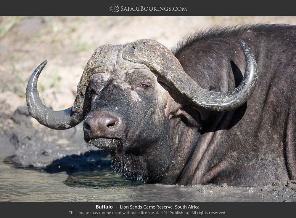 Buffalo in Lion Sands Game Reserve, South Africa