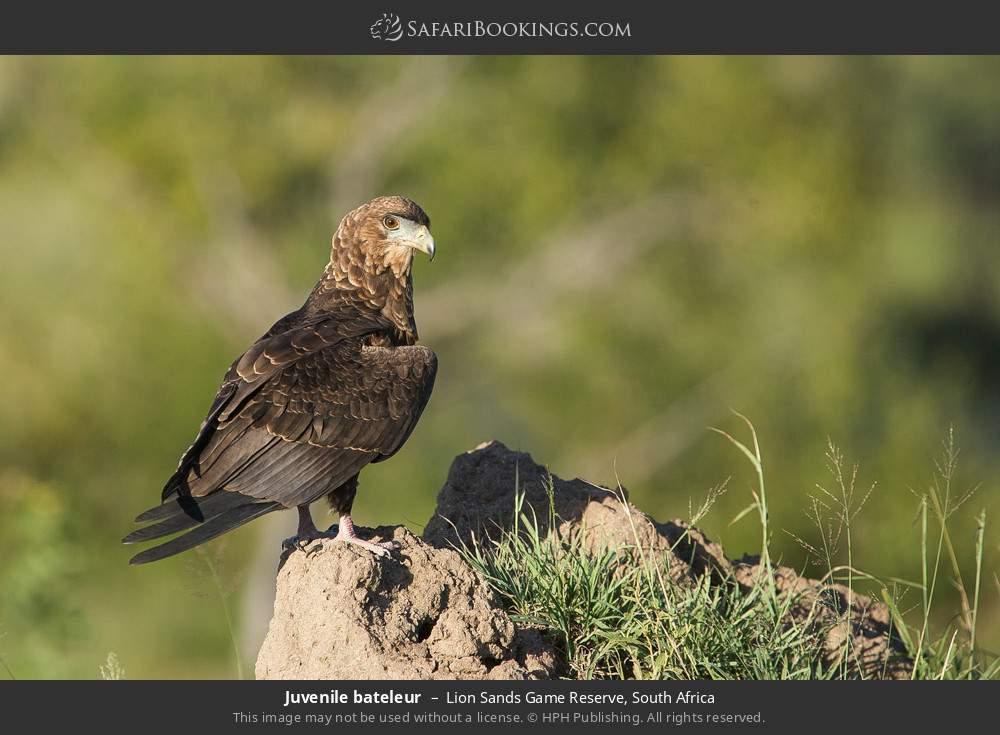 Juvenile bateleur in Lion Sands Game Reserve, South Africa