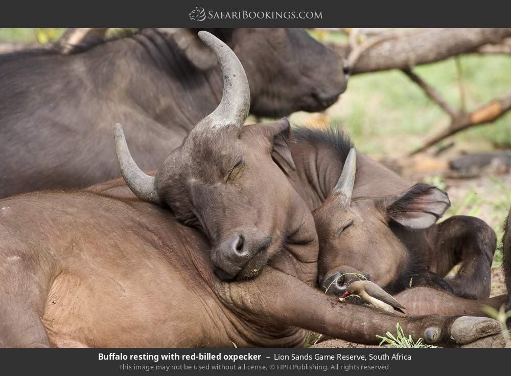 Buffalo resting with red-billed oxpecker in Lion Sands Game Reserve, South Africa