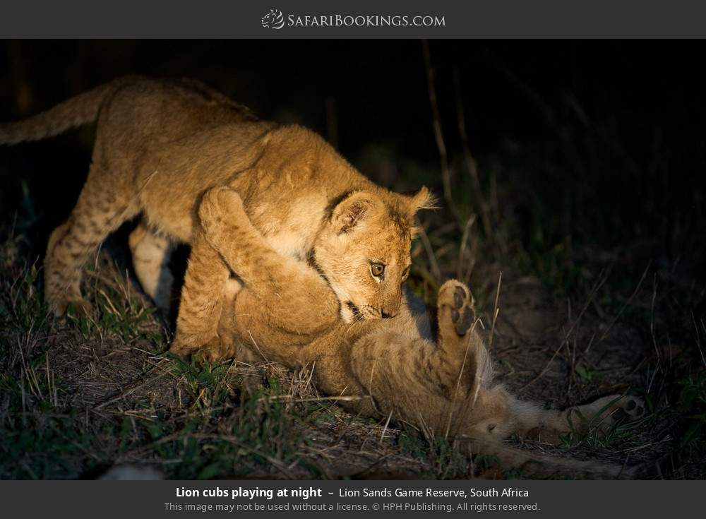 Lion cubs playing at night in Lion Sands Game Reserve, South Africa