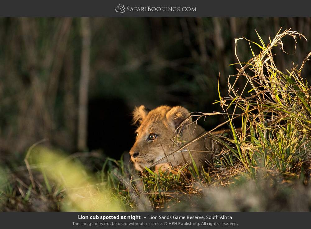 Lion cub spotted at night in Lion Sands Game Reserve, South Africa