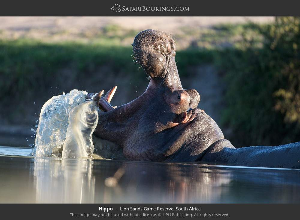Hippo in Lion Sands Game Reserve, South Africa