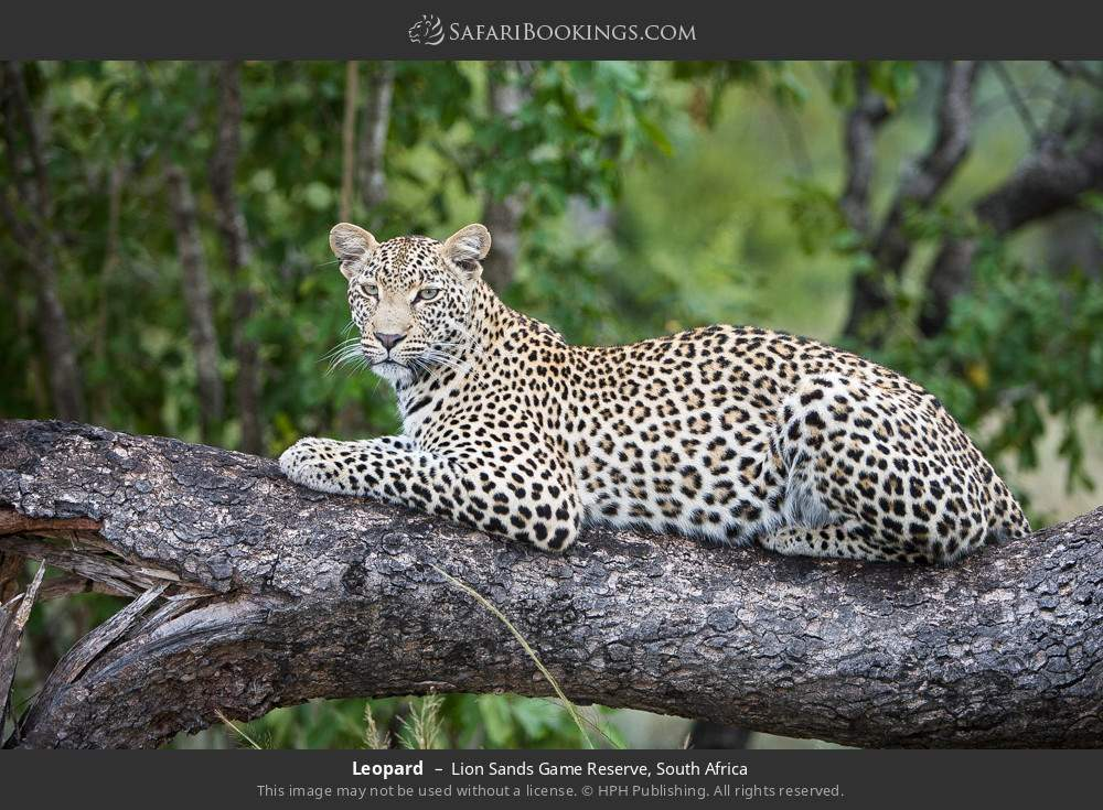 Leopard in Lion Sands Game Reserve, South Africa