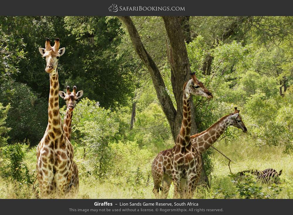Giraffes in Lion Sands Game Reserve, South Africa