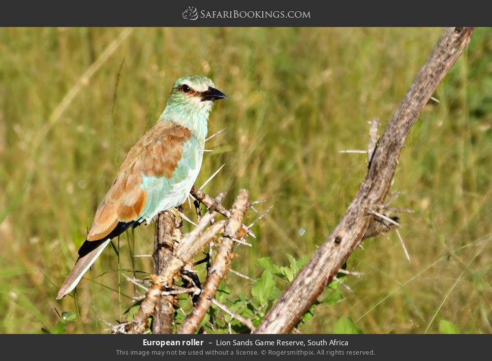 European roller in Lion Sands Game Reserve, South Africa