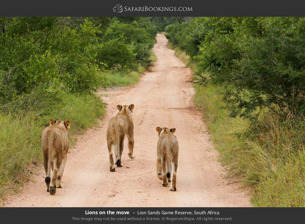 Lions on the move in Lion Sands Game Reserve, South Africa