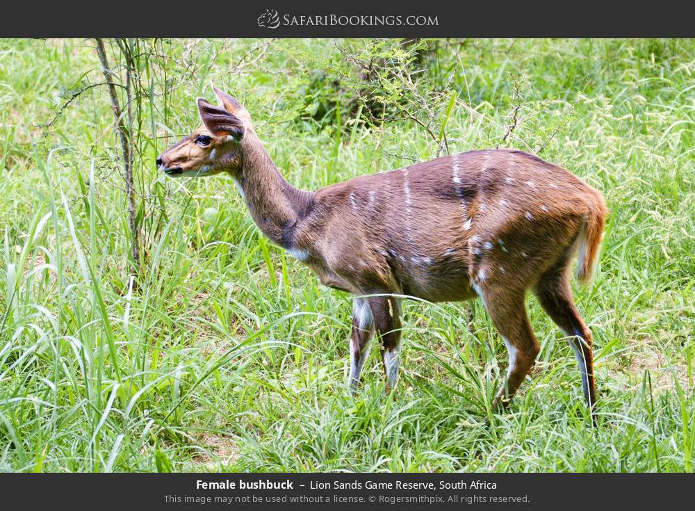 Female bushbuck in Lion Sands Game Reserve, South Africa