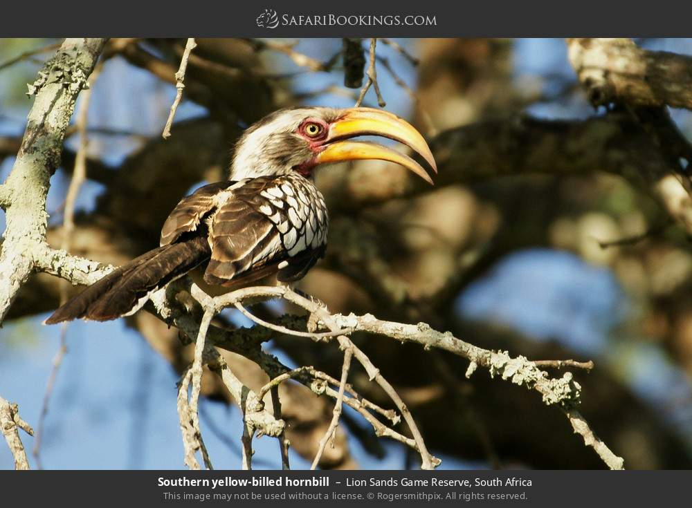 Southern yellow-billed hornbill in Lion Sands Game Reserve, South Africa