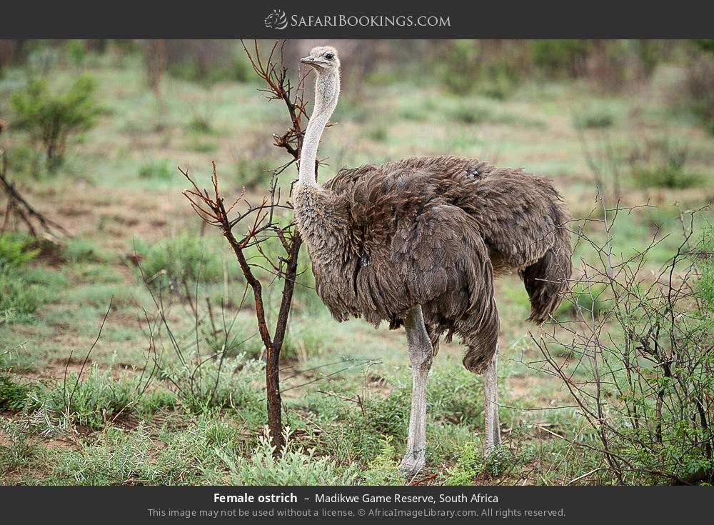 Female ostrich in Madikwe Game Reserve, South Africa