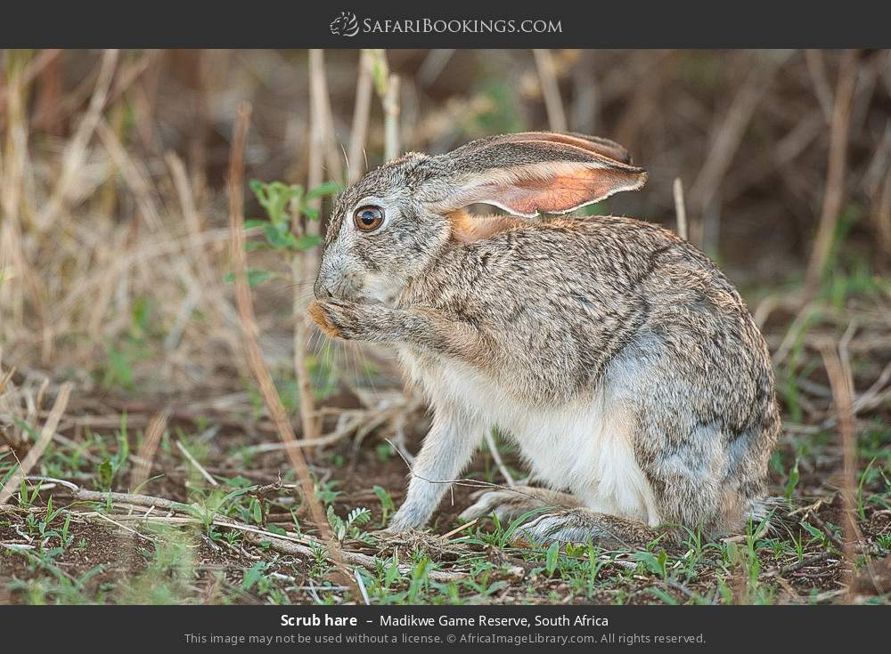 Scrub hare in Madikwe Game Reserve, South Africa