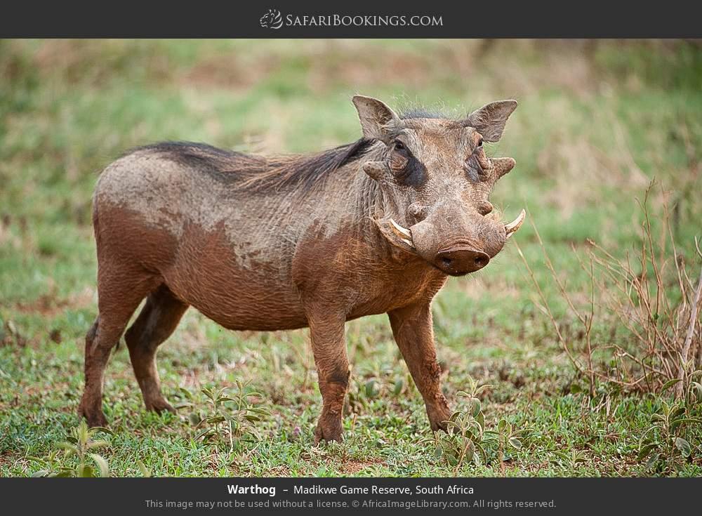 Warthog in Madikwe Game Reserve, South Africa