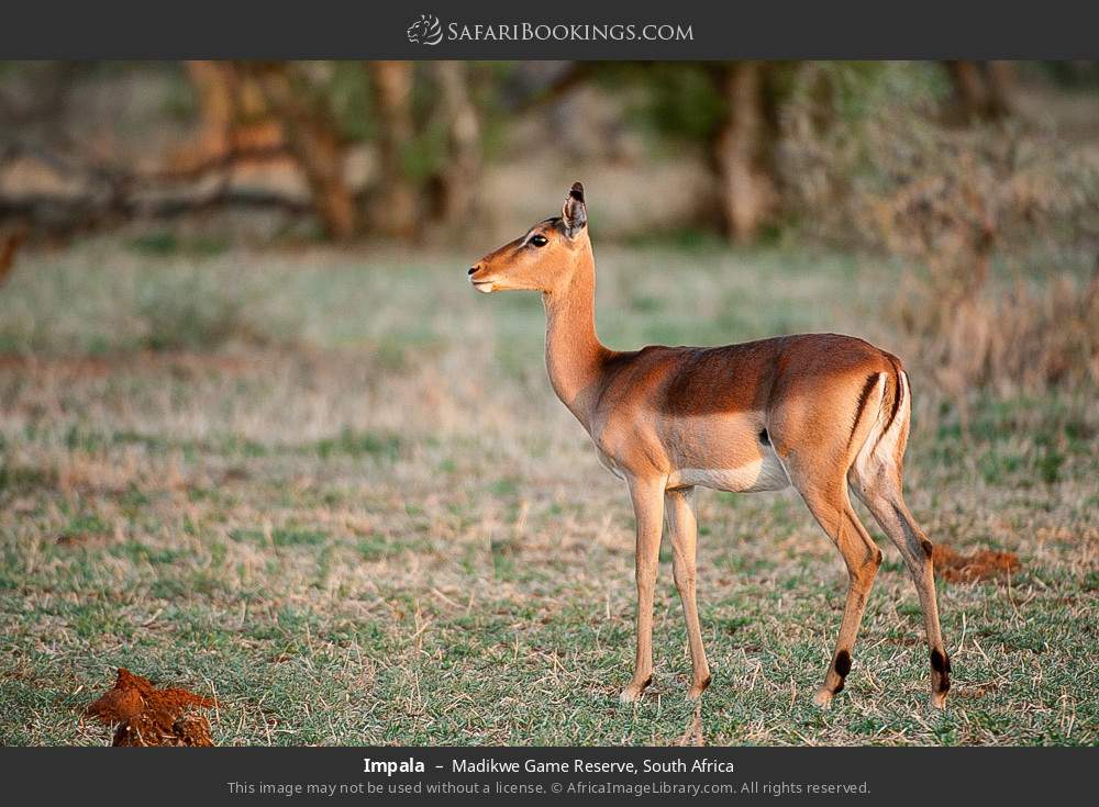 Impala in Madikwe Game Reserve, South Africa