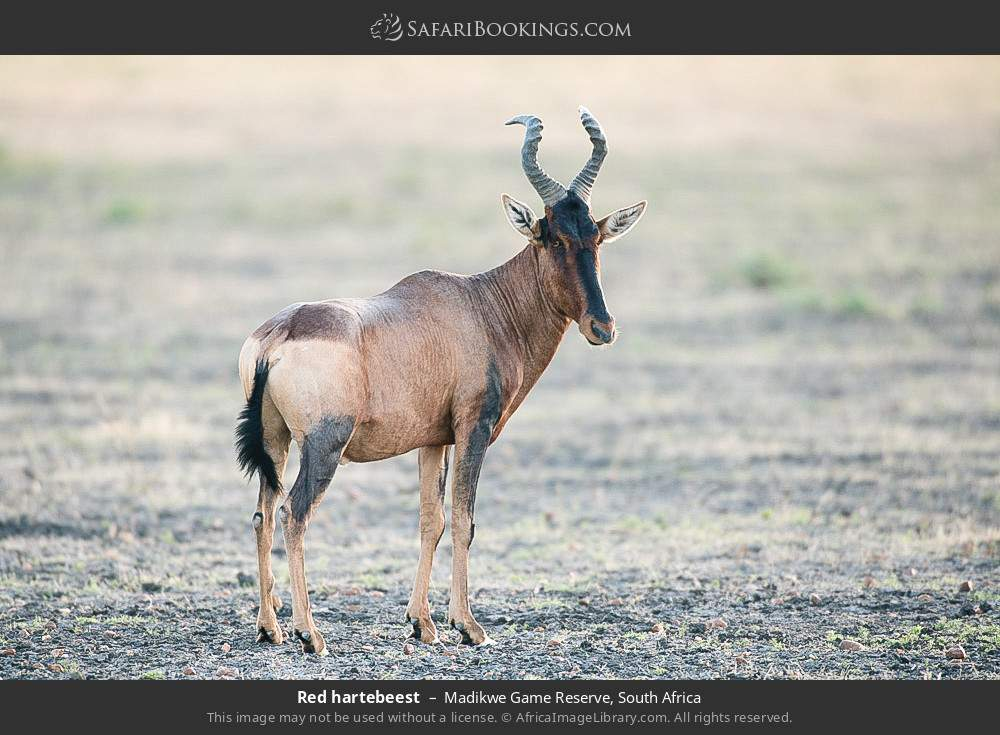 Red Hartebeest in Madikwe Game Reserve, South Africa