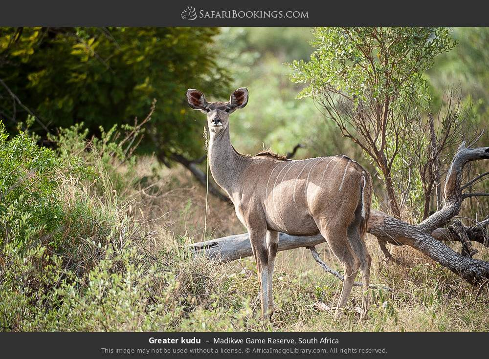 Greater kudu in Madikwe Game Reserve, South Africa