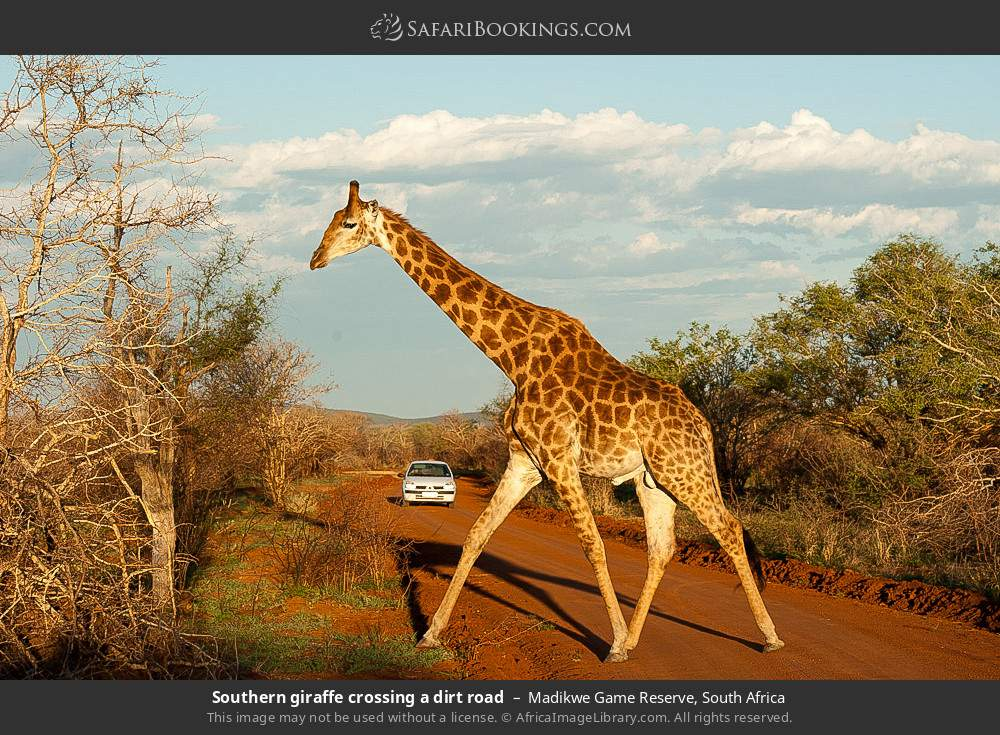 Southern giraffe, crossing a dirt road in Madikwe Game Reserve, South Africa