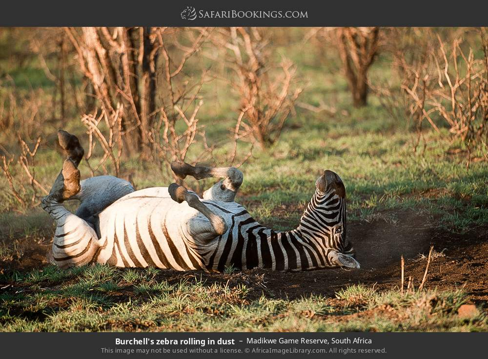 Burchell's zebra rolling in dust in Madikwe Game Reserve, South Africa
